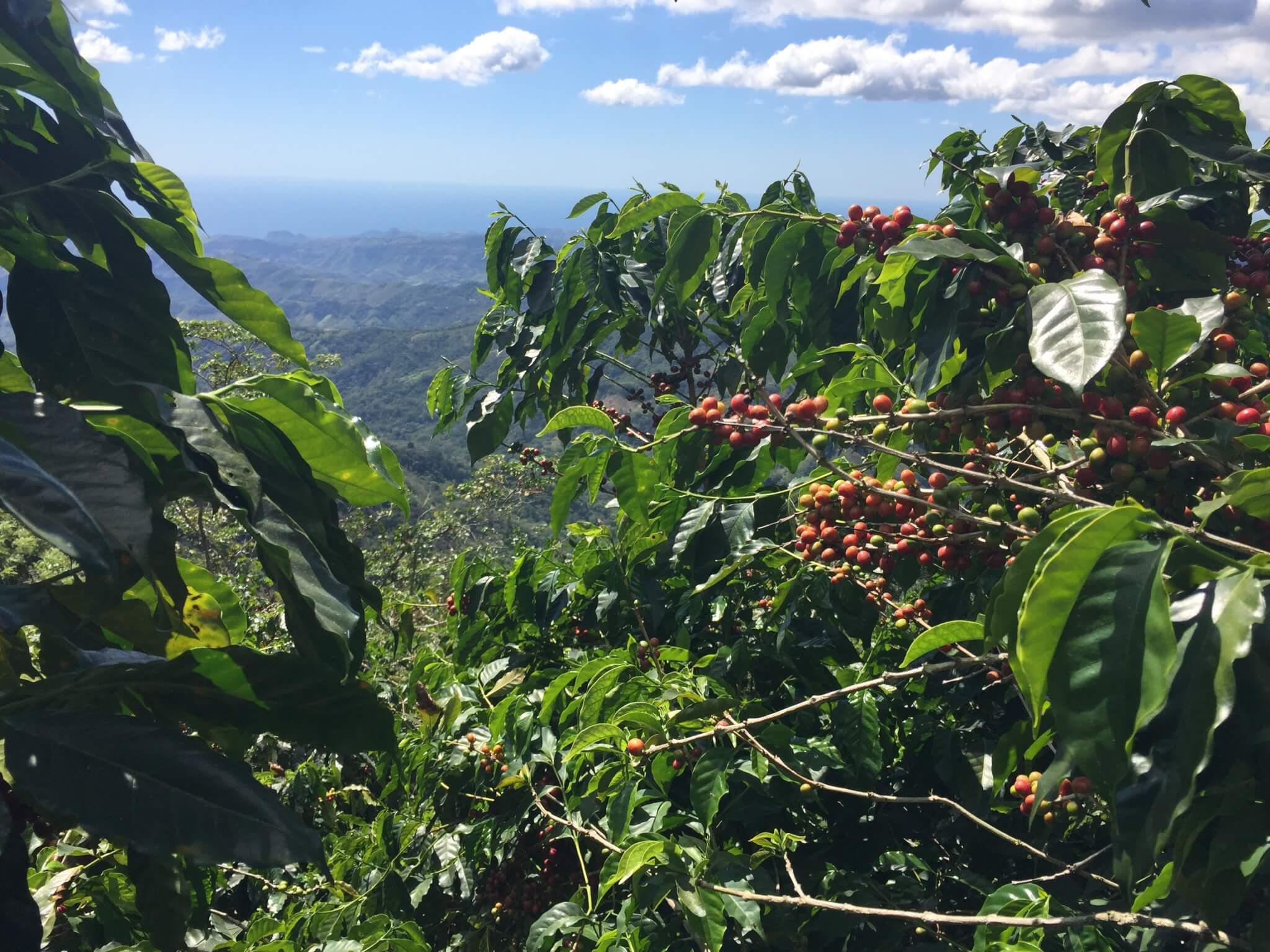 Blick in die Weite, Vordergrund kaffeestrauch mit roten KaffeekirschenKaffee